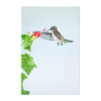 Ruby-Throated Hummingbird (Archilochus Colubris) Canvas Print