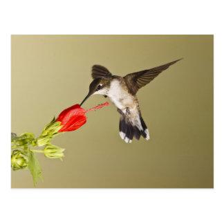 Ruby-throated Hummingbird Archilochus Postcard