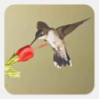 Ruby-throated Hummingbird Archilochus Square Sticker