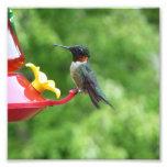 Ruby-Throated Hummingbird Bird Photography Photo Print