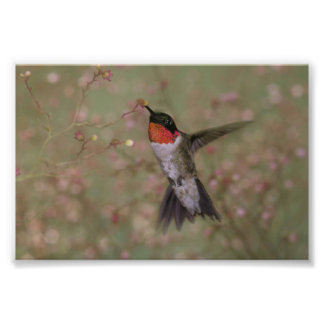 Ruby Throated Hummingbird drinking from a flower Photo Print