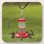 Ruby Throated Hummingbird Feeding Frenzy Coasters