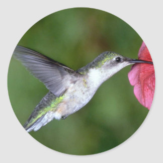 Ruby-throated Hummingbird (female) with petunia Classic Round Sticker