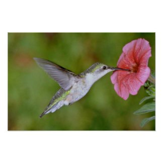Ruby-throated Hummingbird (female) with petunia Pi Poster