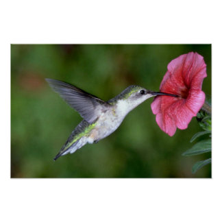 Ruby-throated Hummingbird (female) with petunia Poster