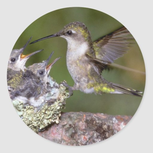 Ruby-throated Hummingbird (female) with young Classic Round Sticker