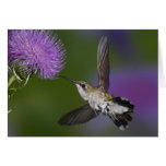 Ruby-throated hummingbird in flight at thistle 2 card