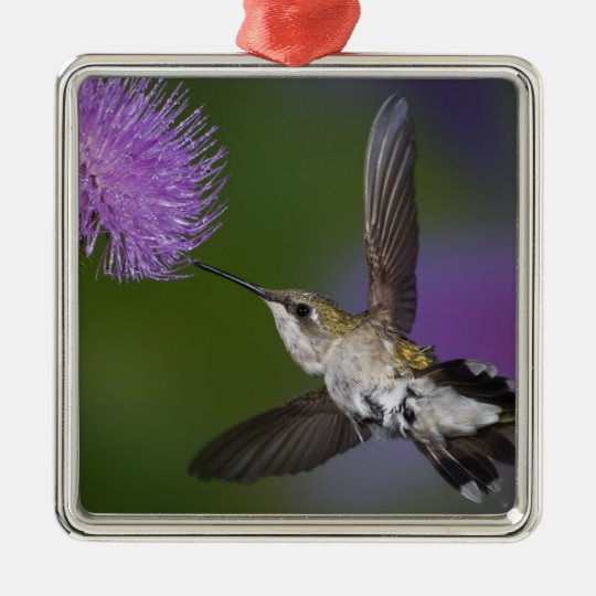Ruby-throated hummingbird in flight at thistle 2 metal ornament