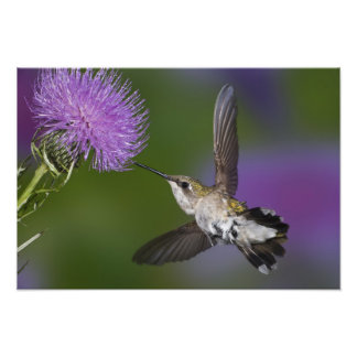 Ruby-throated hummingbird in flight at thistle 2 photo print