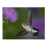 Ruby-throated hummingbird in flight at thistle 2 postcard