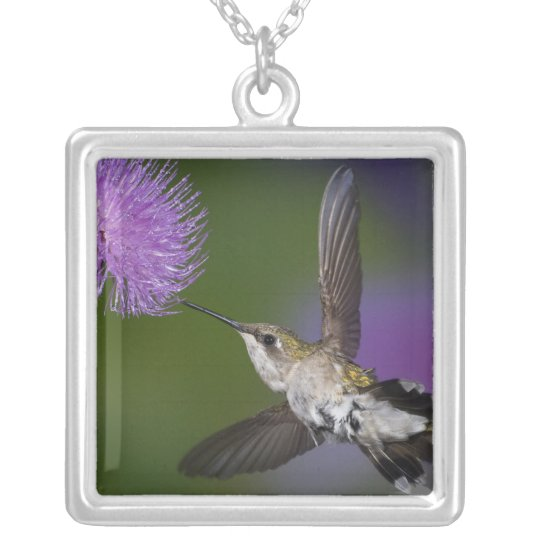 Ruby-throated hummingbird in flight at thistle 2 silver plated necklace