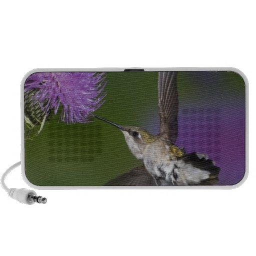 Ruby-throated hummingbird in flight at thistle 2 speaker system