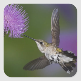 Ruby-throated hummingbird in flight at thistle 2 square sticker