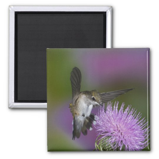 Ruby-throated hummingbird in flight at thistle 3 magnet