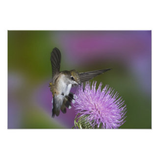 Ruby-throated hummingbird in flight at thistle 3 photo print