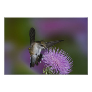 Ruby-throated hummingbird in flight at thistle 3 poster