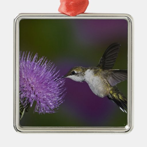 Ruby-throated hummingbird in flight at thistle metal ornament