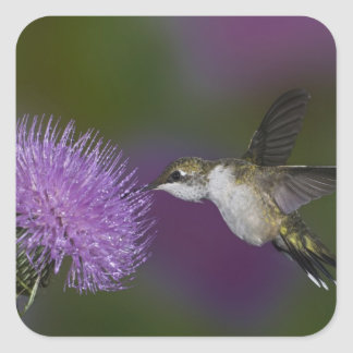 Ruby-throated hummingbird in flight at thistle square sticker