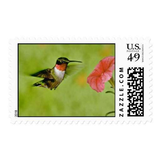 Ruby-throated Hummingbird (male) with petunia Pink Stamps