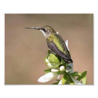 Ruby Throated Hummingbird on Hosta Flowers Photo Print