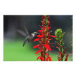 Ruby Throated Hummingbird Photo Print