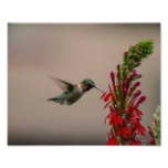 RUBY THROATED HUMMINGBIRD PHOTO PRINT
