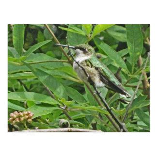 Ruby-Throated Hummingbird Photography Postcard