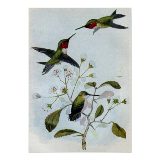 Ruby-throated Hummingbirds Poster
