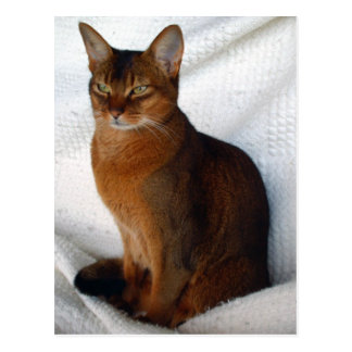 Ruddy Abyssinian Cat Postcards