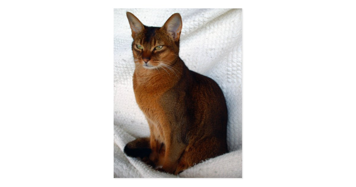 Ruddy Abyssinian Cat Postcards Rc Ac Bb Cd E Cd Vgbaq Byvr on Golf Cart Electronics