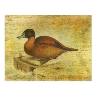 Ruddy Duck Postcard