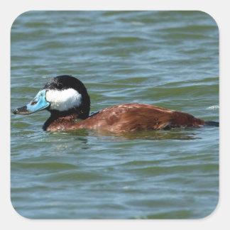 Ruddy Duck Square Sticker