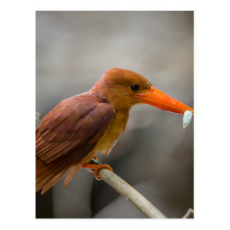 Ruddy Kingfisher Bird National Park Thailand Postcard
