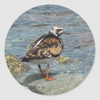 Ruddy Turnstone (Arenaria interpres) Classic Round Sticker