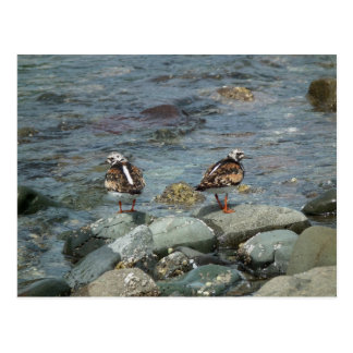 Ruddy Turnstone (Arenaria interpres). Postcard