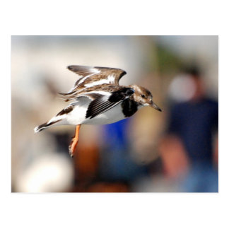 Ruddy Turnstone in Flight Postcard