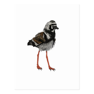 Ruddy Turnstone Postcard