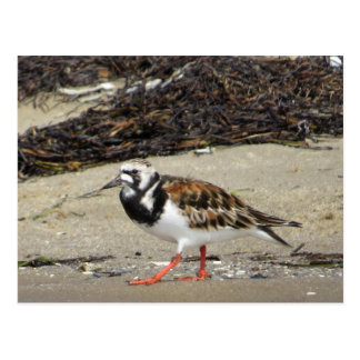 Ruddy Turnstone (summer phase) Postcard