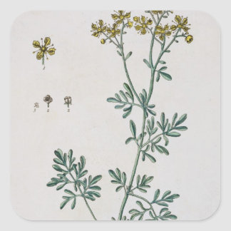 Rue, plate 7 from 'A Curious Herbal', published 17 Square Sticker
