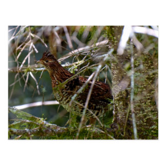 Ruffed Grouse 02 Post Cards