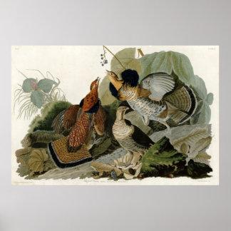 Ruffed Grouse Birds of America by James Audubon Poster