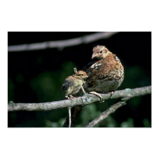 Ruffed grouse, hen and chick on a tree limb print