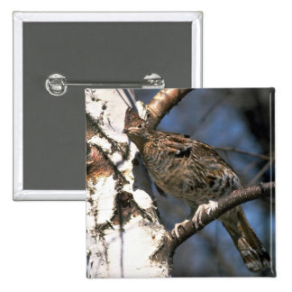 Ruffed grouse perched in a birch tree pin