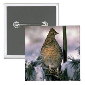 Ruffed grouse perched in a snowy tree buttons