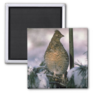 Ruffed grouse perched in a snowy tree refrigerator magnets