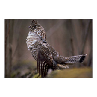 Ruffed Grouse Poster