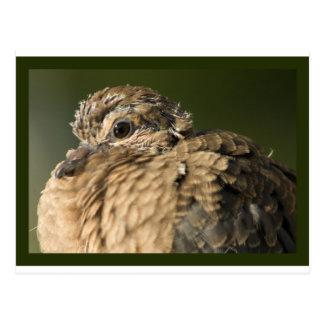 Ruffled Feathers Postcard