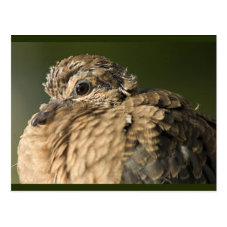 Ruffled Feathers Postcard