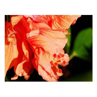 Ruffled Hibiscus Postcard