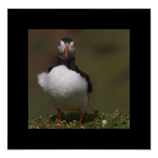 Ruffled Puffin. Poster by cARTerART